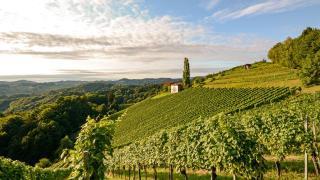 Burgenland Weinberg Sommer Weinstöcke Urlaub im Burgenland HOFER REISEN
