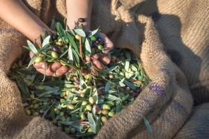 Olivenernte in Zypern - Sternfahrt